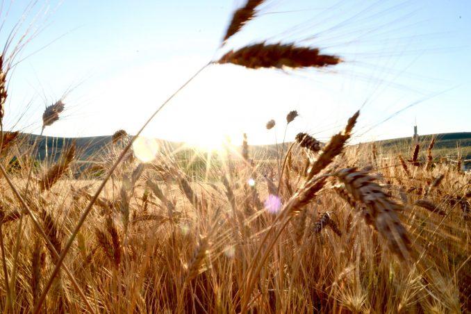 Klimawandel, Analysemethode, Weizenähren, Pflanzen, Pflanzenzucht