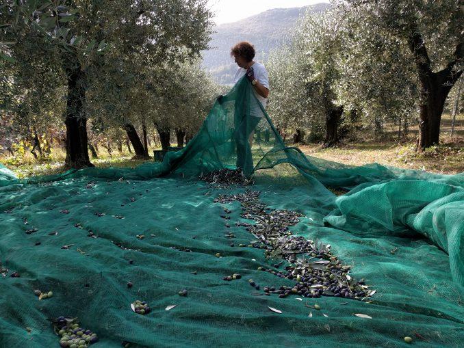 Nieuwe olijfboom is resistent tegen olijfbomenpest
