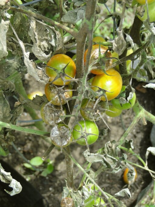 This image has an empty alt attribute; its file name is tomato-608290_1920-509x678.jpg